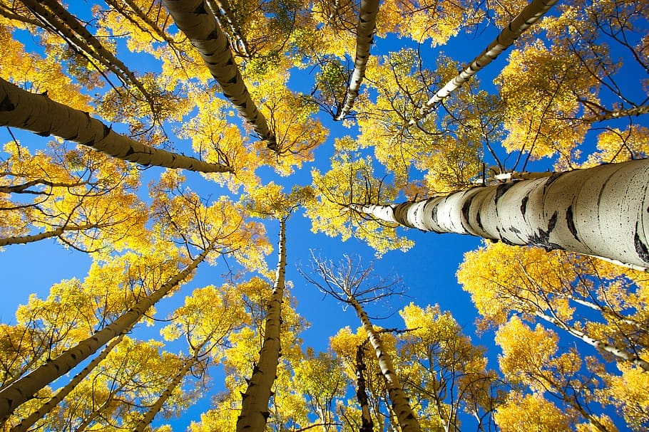 Aspens are the most widespread tree in North America. They range from Canada to Mexico. They don't experience aging.