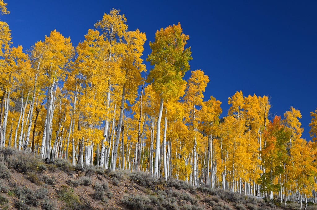 Pando is 80,000 years old. It's 20 times older than the great pyramids. When it sprouted, fewer than 10 thousand humans lived on Earth. Image Credit: U.S. Forest Service